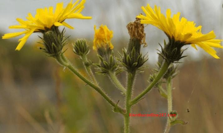 Công dụng và tác dụng chữa bệnh của Cam Thìa