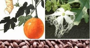 Công dụng và tác dụng chữa bệnh của cây Qua lâu nhân