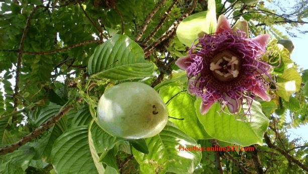 cây Dưa gang tây